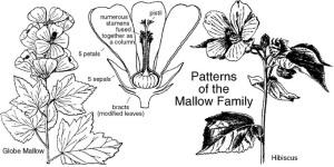 mallow family